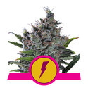 North Thunderfuck (Royal Queen Seeds) feminisiert