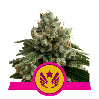 Legendary Punch (Royal Queen Seeds) feminisiert