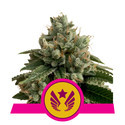 Legendary Punch (Royal Queen Seeds) femminizzata
