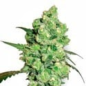 Super Skunk (White Label) feminisiert