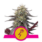 Green Punch (Royal Queen Seeds) feminized