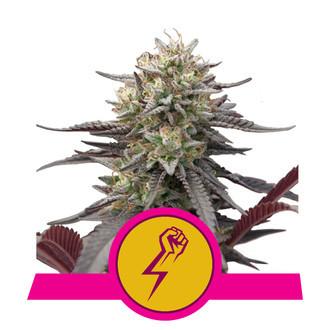 Green Punch (Royal Queen Seeds) feminisiert