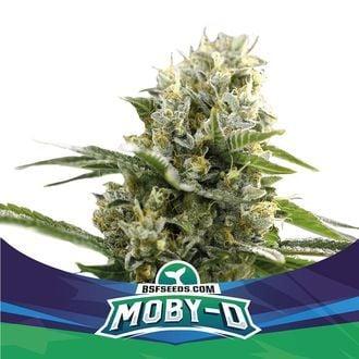 Moby-D XXL Auto (BSF Seeds) feminisiert