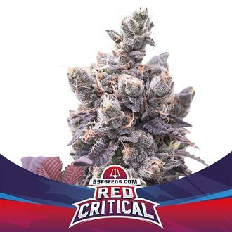 Red Critical Auto (BSF Seeds) feminisiert