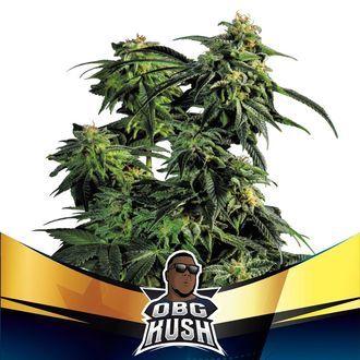OBG Kush (BSF Seeds) feminisiert