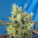 Do-Sweet-Dos (Sweet Seeds) femminizzata