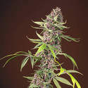 Red Mandarine F1 Fast Version (Sweet Seeds) feminisiert