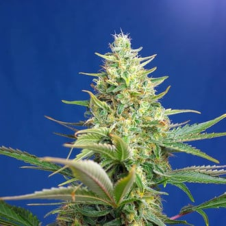 Sweet Pure Auto CBD (Sweet Seeds) femminizzata