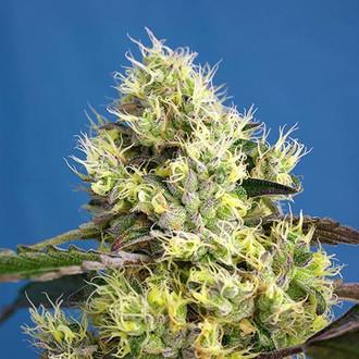 Sweet Gelato Auto (Sweet Seeds) feminisiert