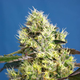 Sweet Gelato Auto (Sweet Seeds) femminizzata
