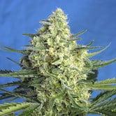 Jack 47 XL Auto (Sweet Seeds) feminized
