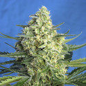 Jack 47 XL Auto (Sweet Seeds) feminized