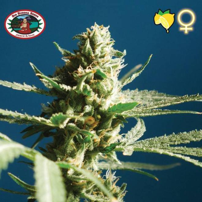 Sch'Lemon Cake | Big Buddha Seeds | Cannabis Seeds - Zamnesia