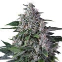 Karel's Haze (Super Sativa Seed Club) regulär