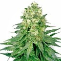 White Widow (White Label) femminizzato