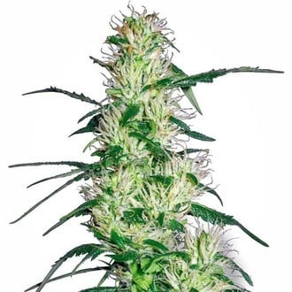Purple Haze (White Label) feminized