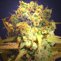 Dr. Bruce Banner (Original Sensible Seeds) feminized