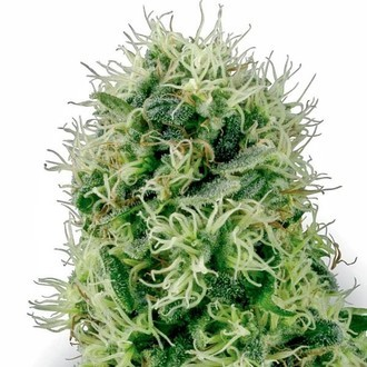Pure Power Plant (White Label) feminized