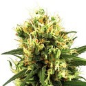 White Haze Automatic (White Label) feminized