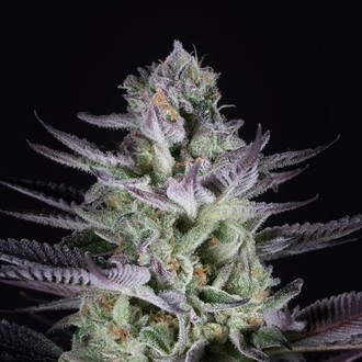 Blueberry Cookies (Dinafem) feminized