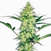 White Diesel (White Label) femminizzato