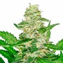 Super Skunk Automatic (White Label) feminized