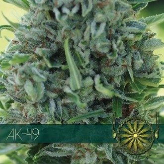 AK-49 (Vision Seeds) femminizzato