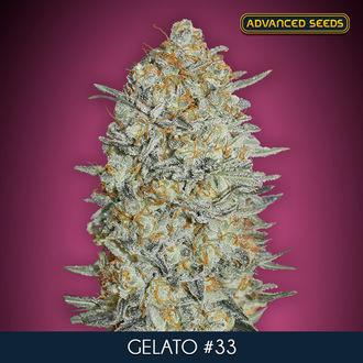 Gelato 33 (Advanced Seeds) feminisiert