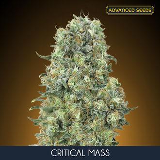 Critical Mass (Advanced Seeds) feminized