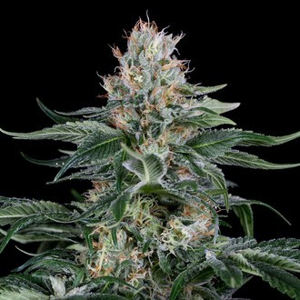 Orange Juice (Dinafem) feminized