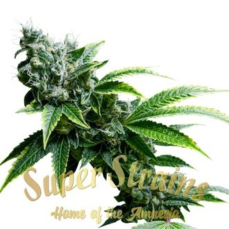 Eden (Super Strains) feminisiert