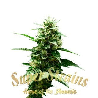 Mexican Candy (Super Strains) feminisiert