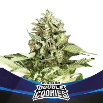 Double Cookies Auto (BSF Seeds) feminisiert