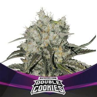 Double Cookies (BSF Seeds) feminisiert