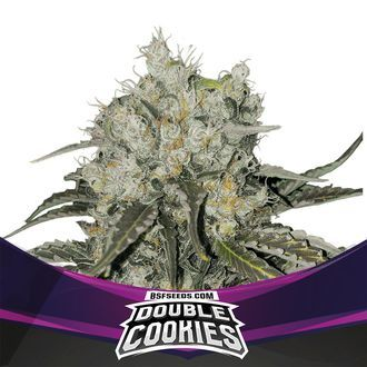 Double Cookies (BSF Seeds) feminisiert