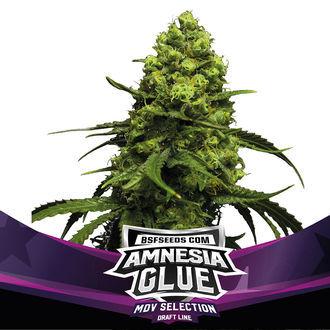 Amnesia Glue (BSF Seeds) Feminized