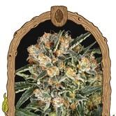 Hippie Therapy CBD (Exotic Seed) Feminized