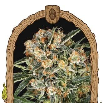 Hippie Therapy CBD (Exotic Seed) feminisiert