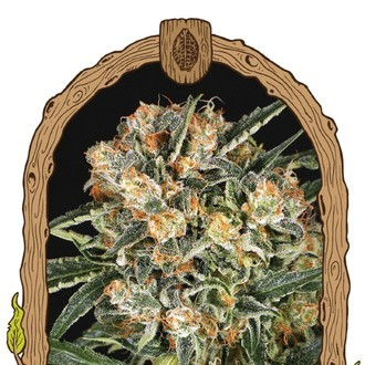 Hippie Therapy CBD (Exotic Seed) feminized