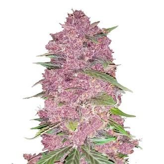 Purple Lemonade (FastBuds) femminizzata