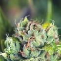 Tahoe Cure (Pyramid Seeds) feminized