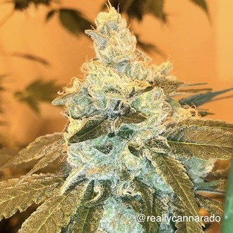 Weed Nap (Cannarado Genetics) feminisiert
