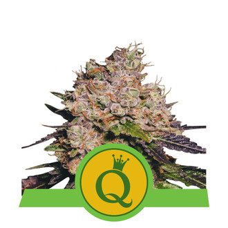 Purple Queen Automatic (Royal Queen Seeds) feminisiert