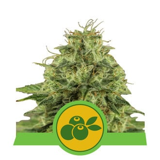 Haze Berry Automatic (Royal Queen Seeds) feminized