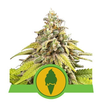 Green Gelato Automatic (Royal Queen Seeds) feminized