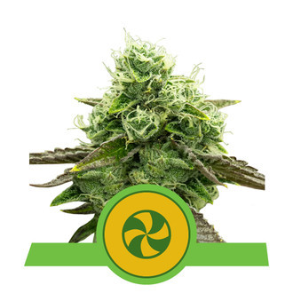 Sweet ZZ Automatic (Royal Queen Seeds) feminized