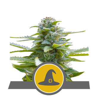 Exotic Witch (Royal Queen Seeds) regular