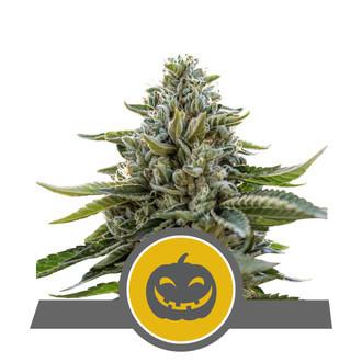 Pumpkin Kush (Royal Queen Seeds) regular