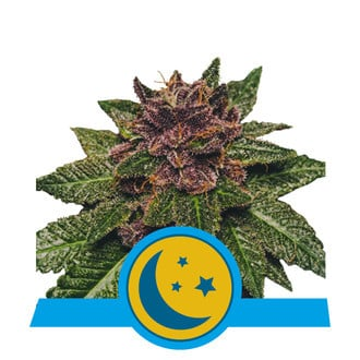 Purplematic CBD (Royal Queen Seeds) feminisiert