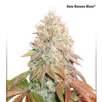Auto Banana Blaze (Dutch Passion) feminisiert